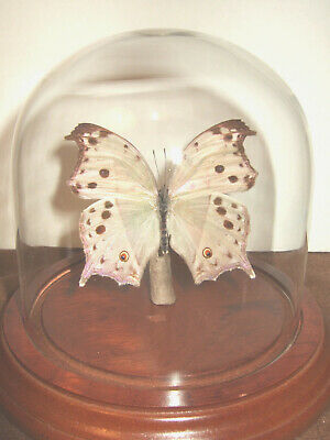Mother of Pearl Butterfly Dome  (Salamis parahassus)