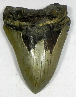 4  13/16 Inch Fossil Megalodon Prehistoric Shark Tooth Teeth. Great Tooth
