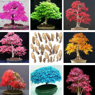 Rare Colorful Japanese Maple Tree Bonsai Plant Seeds Acer Garden/Yard Seed Plant