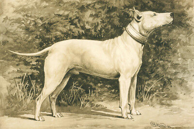 Bull Terrier Dog 1907 Gravure Drawing by Moore  8 New Large Note Cards