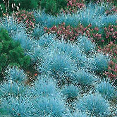 Blue Fescue Ornamental Grass Seeds Compact Pot Patio Festuca Glauca 75 Seed Pack