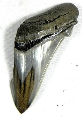 2  7/16 Inch Polished Fossil Megalodon Prehistoric Shark Tooth Teeth. Serrated