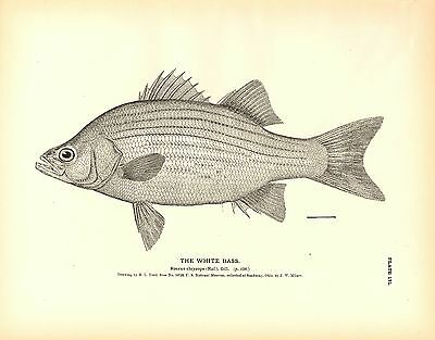 Rare 1884 Antique Fish Print ~ The Bass & Perch Collection ~ Lot of 4 prints