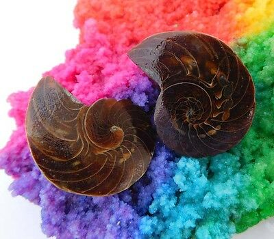 155 Cts. 100% Natural Matched Pair Of Ammonite Shell  Mineral Specimen (NH95)