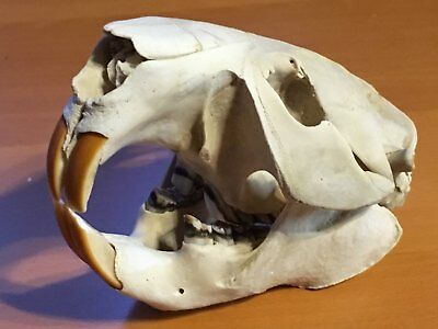 XXXL BEAVER Skull Wild Animal Real Bone Museum Mammalogy Science School Craft