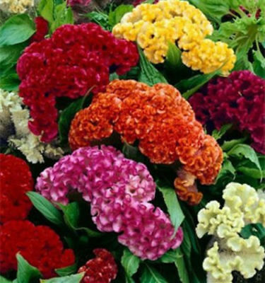 Real 500pcs flower Seeds Cockscomb Celosia Crested mix Cut Flower easy grow C2