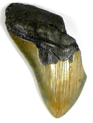 4  13/16 Inch Fossil Megalodon Prehistoric Shark Tooth Teeth. Great Colors