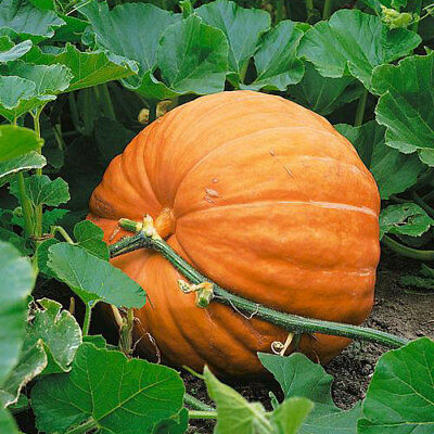 Pumpkin Seeds Dills Atlantic Giant 25 thru 100 Seeds you pick the amount
