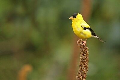 American Goldfinch Bird DIGITAL PHOTO, Original Picture, 1 Day Email Delivery