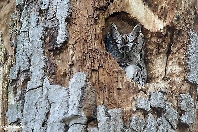 Screech Owl DIGITAL PHOTO, Original Picture, 1 Day Email Delivery