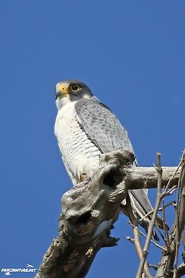 Peregrine Falcon DIGITAL PHOTO, Original Picture, 1 Day Email Delivery
