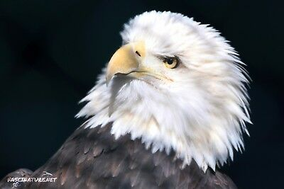 Bald Eagle DIGITAL PHOTO, Original Picture, 1 Day Email Delivery, Eagles