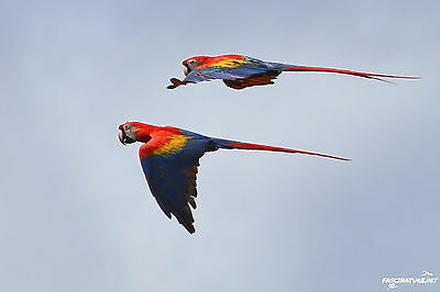 Scarlet Macaw DIGITAL PHOTO, Original Picture, 1 Day Email Delivery, Parrot