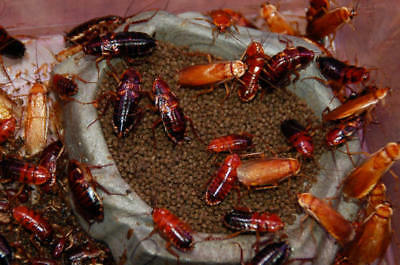 Red Runner Roach - Turkestan cockroach Cricket Alternative - Live Insect Feeder