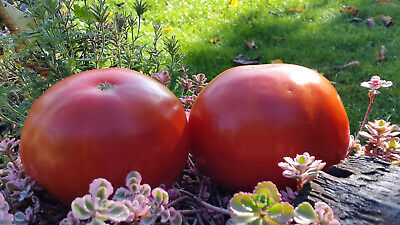 10 graines de tomate rare ancienne HERCEGOVAC croation heirloom tomato seeds bio