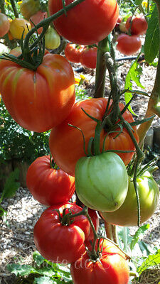 10 graines de tomate ancienne Coeur de Boeuf Rouge gros fruits heirloom tomato