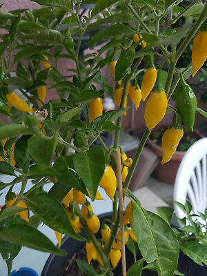 Hot Lemon Drop Chili Gelb  (Capsicum Baccatum)10+ samen Nachtschatten