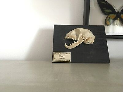 Cat skull Antique Taxidermy / Bizarre / Cabinet of Curiosities / Dr Auzoux