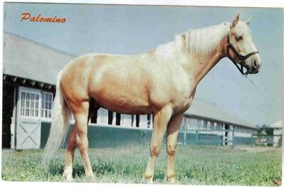 Palomino Horse In Front Of An Old Saratoga Barn Postcard Circa 1960