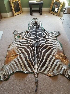 Large Hide Taxidermy Real Zebra Skin Rug Interior Design Brown White Animal