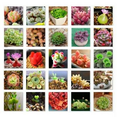 500Pcs Mixed Succulent Cactus Lithops Easy Living Stones Seeds Farm Plant UK