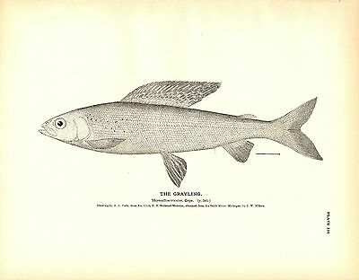 Rare 1884 Antique Fish Print ~ The Grayling Collection ~ Lot of 2 prints