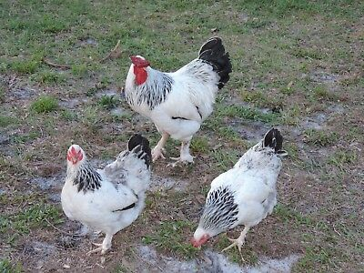 12 Light Brahma Chicken Hatching Eggs NPIP Cert. PT and AI Clean!
