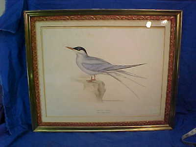 1830s Orig JOHN GOULD Hand Colored ARCTIC TERN Framed Lithograph BIRD PRINT