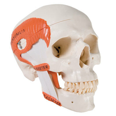 Functional Skull wt Masticator Muscles 2-part  1 EA