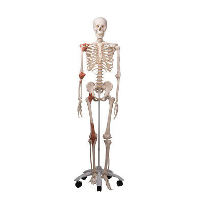Leo the Ligament Skeleton w/ Pelvic roller stand  1 EA