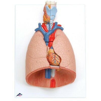 Lung Model w/ Larynx 7 part  1 EA