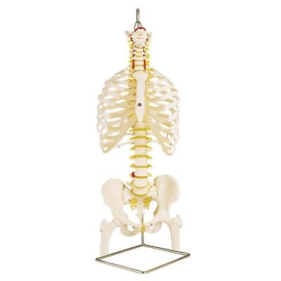Classic Flexible Spine w/ Ribs and Femur Heads  1 EA