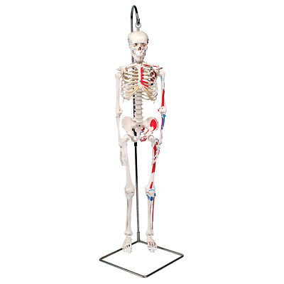 Mini Skeleton w/ Painted Muscles-Hanging  1 EA