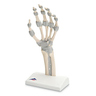M36 Hand Skeleton with Elastic Ligaments  1 EA