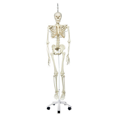 Physiological Skeleton w/ hanging roller stand  1 EA