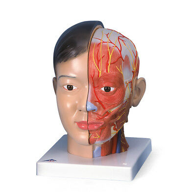Asian Deluxe Head w/ neck 4-part  1 EA