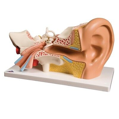 Giant Ear-Classic Version 3x life-size 4 part  1 EA