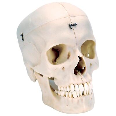 3B Scientific System Skull Bony Skull6-part  1 EA