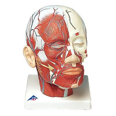 Head and Neck Musculature w/ Blood Vessels  1 EA