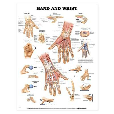 Anatomical Chart Company - Hand and Wrist Shows Muscle and Tendon Anatomy