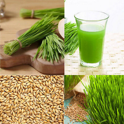 Organic Whole Raw Barley Grass Grain Seeds Sprouting Juicing Growing Cat Grass