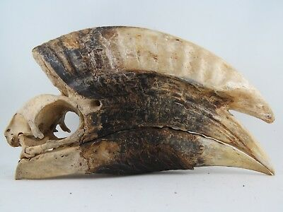 White-Thighed Hornbill MALE (Bycanistes albotibialis) Bird Skull REAL W21803M