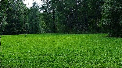 20 lbs Alfalfa, Ladino Clover, Red Clover, Chicory Deer Food Plot Seed Mix
