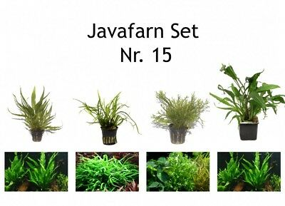Tropica plantas Set 4 javarfarn incl. mutterpflanze aquariumpflanzenset nr.15