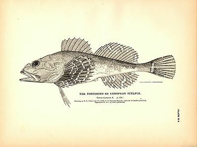 Rare 1884 Antique Fish Print ~ The Sculpin Collection ~ Lot of 6 prints