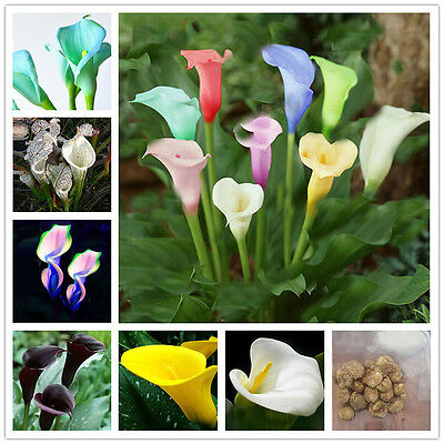 2X Rare Colorful Calla Lily Bulbs Perennial Gardening Summer Flower Bulb Roots^