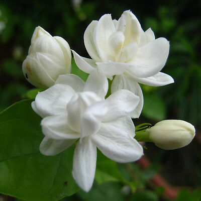 20 pcs Cape Jasmine Jasminiodes White Shrub Aromatic Flower Seeds Plant
