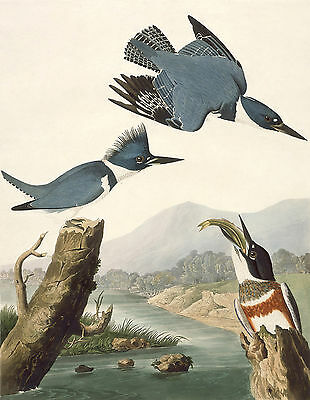 Audubon Reproductions:Birds of America: Belted Kingfisher: Fine Art Print