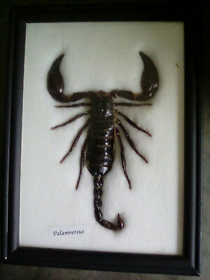Huge framed box 6'' black Palamnersus scorpion taxidermy shadowbox, Nice!!