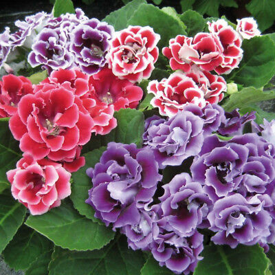 100X Saintpaulia Ionantha African Violet Seeds Beautiful Flower Garden Plant Uk